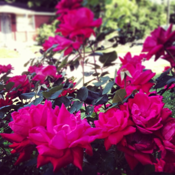 Our rose bush.